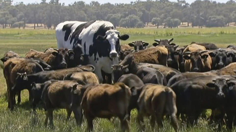 Η τεράστια αγελάδα της Αυστραλίας!
