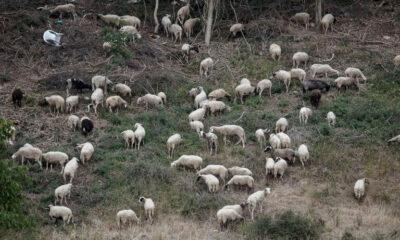 Φθιώτιδα: Νεκρό ολόκληρο κοπάδι πρόβατα – «Έσκασαν» από το φαΐ! 10