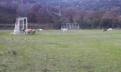 Πρόβατα βόσκουν σε καινούριο χλοοτάπητα στην Ηγουμενίτσα! 23
