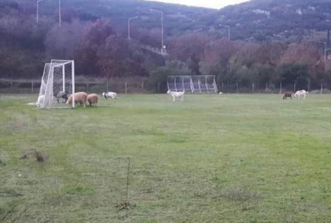 Πρόβατα βόσκουν σε καινούριο χλοοτάπητα στην  Ηγουμενίτσα!